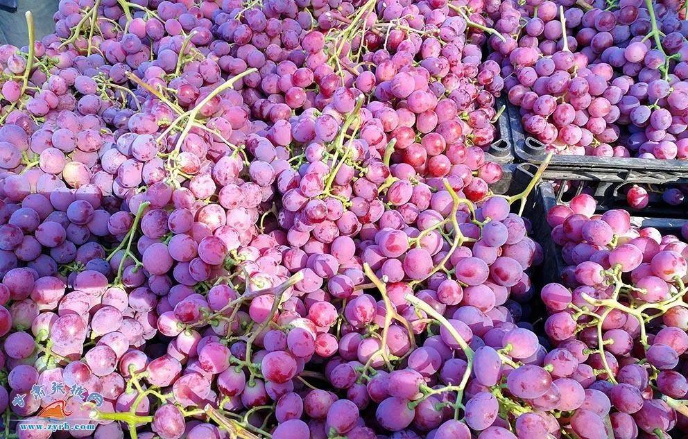 临泽温室葡萄。