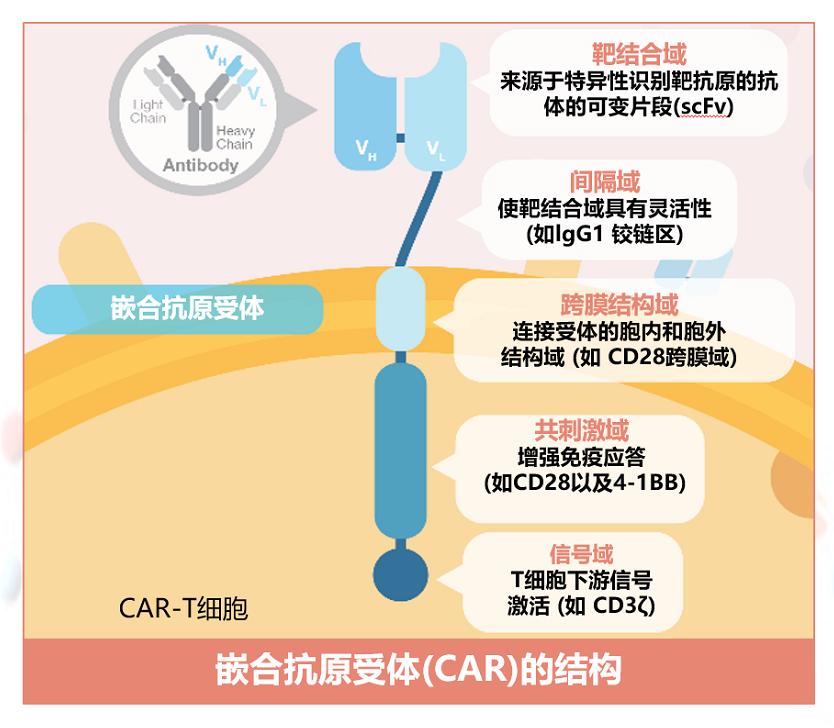 嵌合抗原受体(CAR)的结构