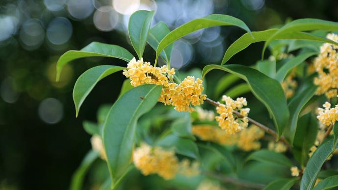 上海首波桂花飘香,这是上海植物园有记录来最晚开的早银桂