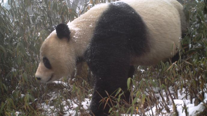 """野生动物从濒临灭绝到""""回归"""",折射出中国生态治理明显成效"""