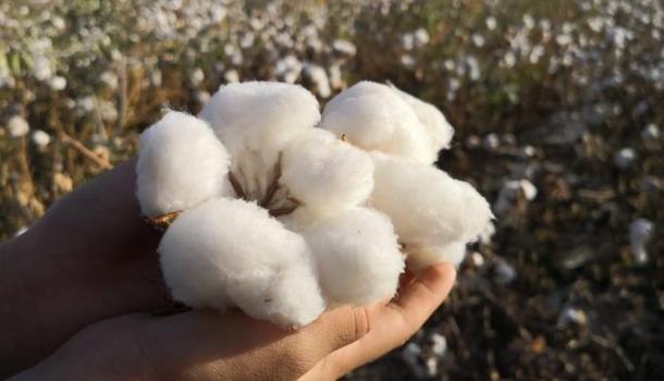 """新疆的棉花开了!一起来看""""三好""""棉花如何炼成"""