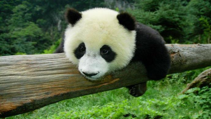 大熊猫国家公园正式设立,此前试点7成以上区域在四川