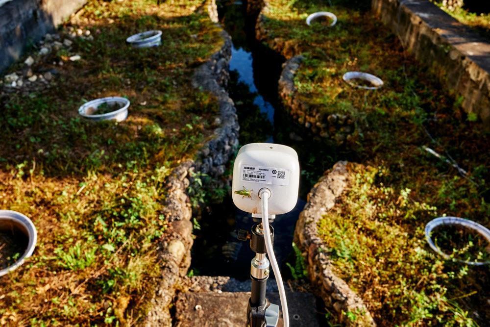 2021年9月,张家界大鲵国家级自然保护区,用一台摄像机观察池塘里的大鲵。