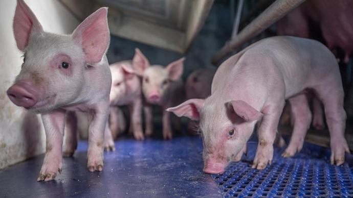 五大上市猪企股价集体暴涨:涨幅均超7%,正邦科技涨停
