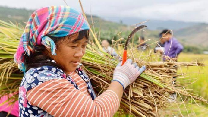 """多年生稻""""云大107""""在元江梯田示范一种两季亩产超千公斤"""