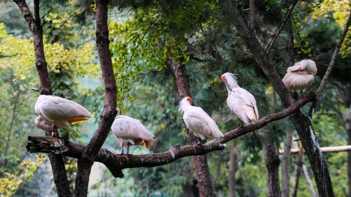 陕西发布朱鹮保护蓝皮书:种群数量从7只发展到5257只