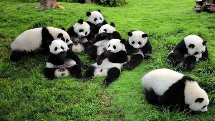 最新数据:四川大熊猫达到1935只