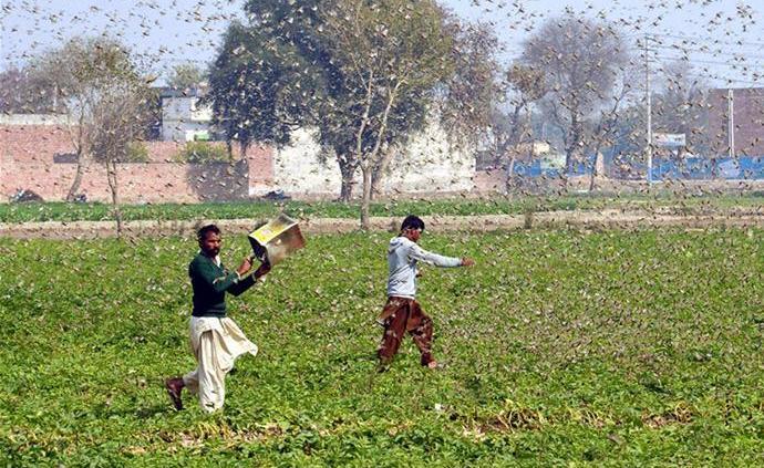 中國蝗災防治工作組:鴨子捕食蝗蟲的方法不適合巴基斯坦