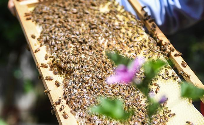 """蜜蜂要進食、農作物需授粉,養蜂人呼吁放行趕""""春繁"""""""