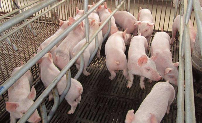 內蒙古鄂爾多斯從外省違規調入仔豬中排查出非洲豬瘟疫情
