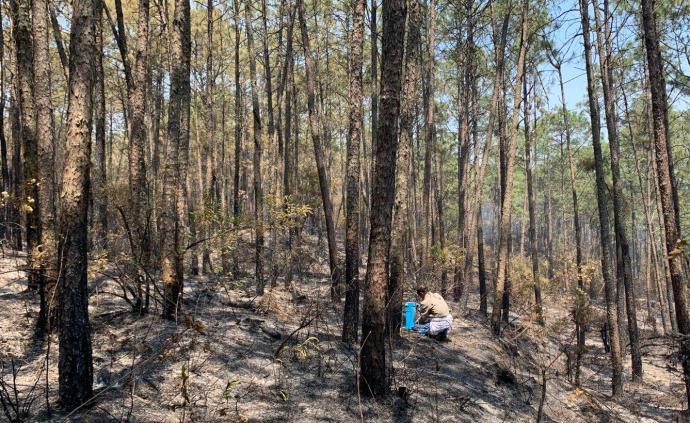 西昌泸山猴群可能要换个地方睡觉,当地人称植被恢复不会太久
