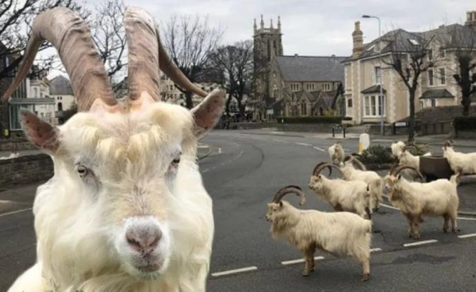 英倫疫事|上街不被警察盤問罰款,那就是成為山羊