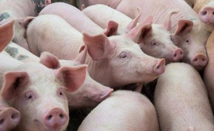 河南三门峡市非洲猪瘟疫区解除封锁