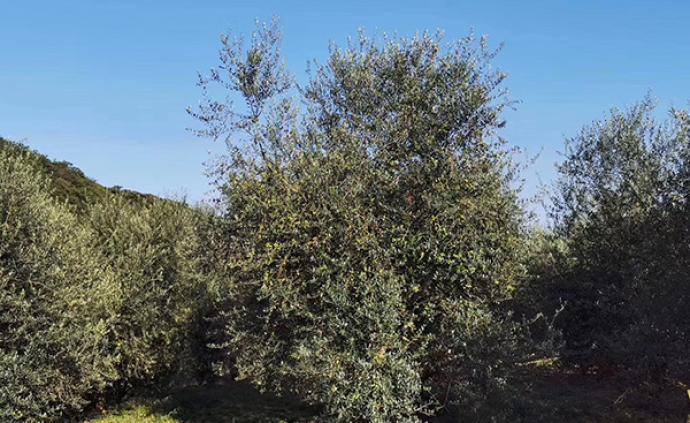 買鄂|湖北十堰一公司上百噸橄欖油積壓,負責人希望網友下單