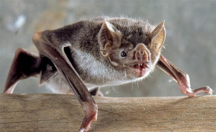 """科學家給吸血蝙蝠貼上迷你""""背包""""追蹤器,監測其社交活動"""