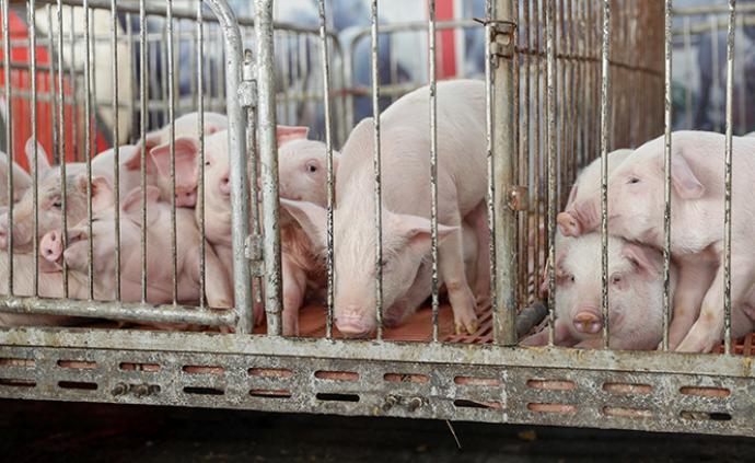 兩部門:禁止從巴布亞新幾內亞輸入豬、野豬及其產品,防非瘟
