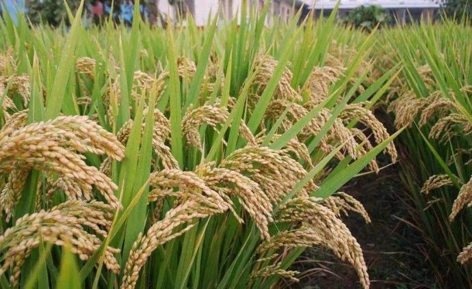 農業農村部:我國糧食產量豐、庫存足,沒必要搶購囤積