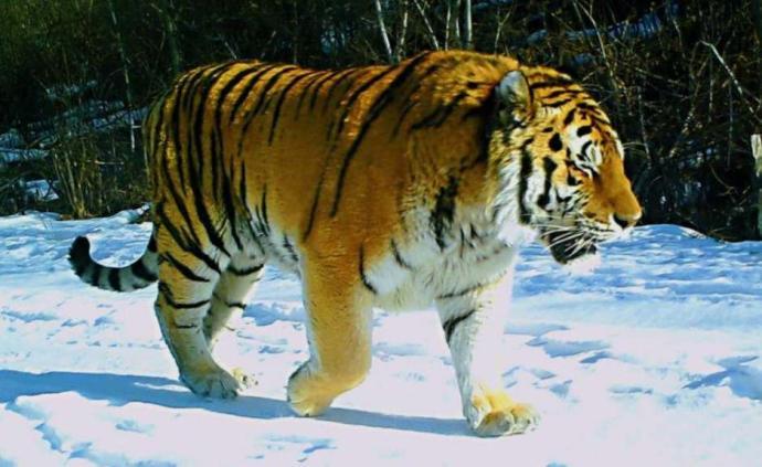 黑龍江太平溝國家級自然保護區發現4只野生東北虎