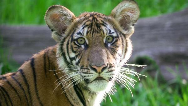 老虎也中招!纽约动物园4岁虎感染新冠