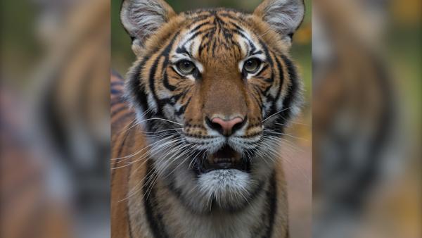 纽约首现老虎检测呈阳,曾接触感染饲养员