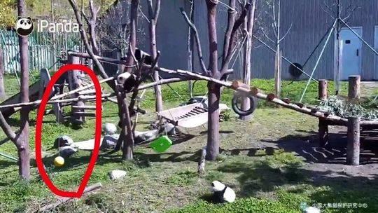 幼年大熊猫窒息死亡,工作人员:夜间两三人看管40多只熊猫