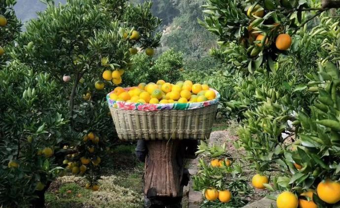買鄂|秭歸臍橙種植戶故事:一度遭遇歧視,靠愛心和口碑逆襲