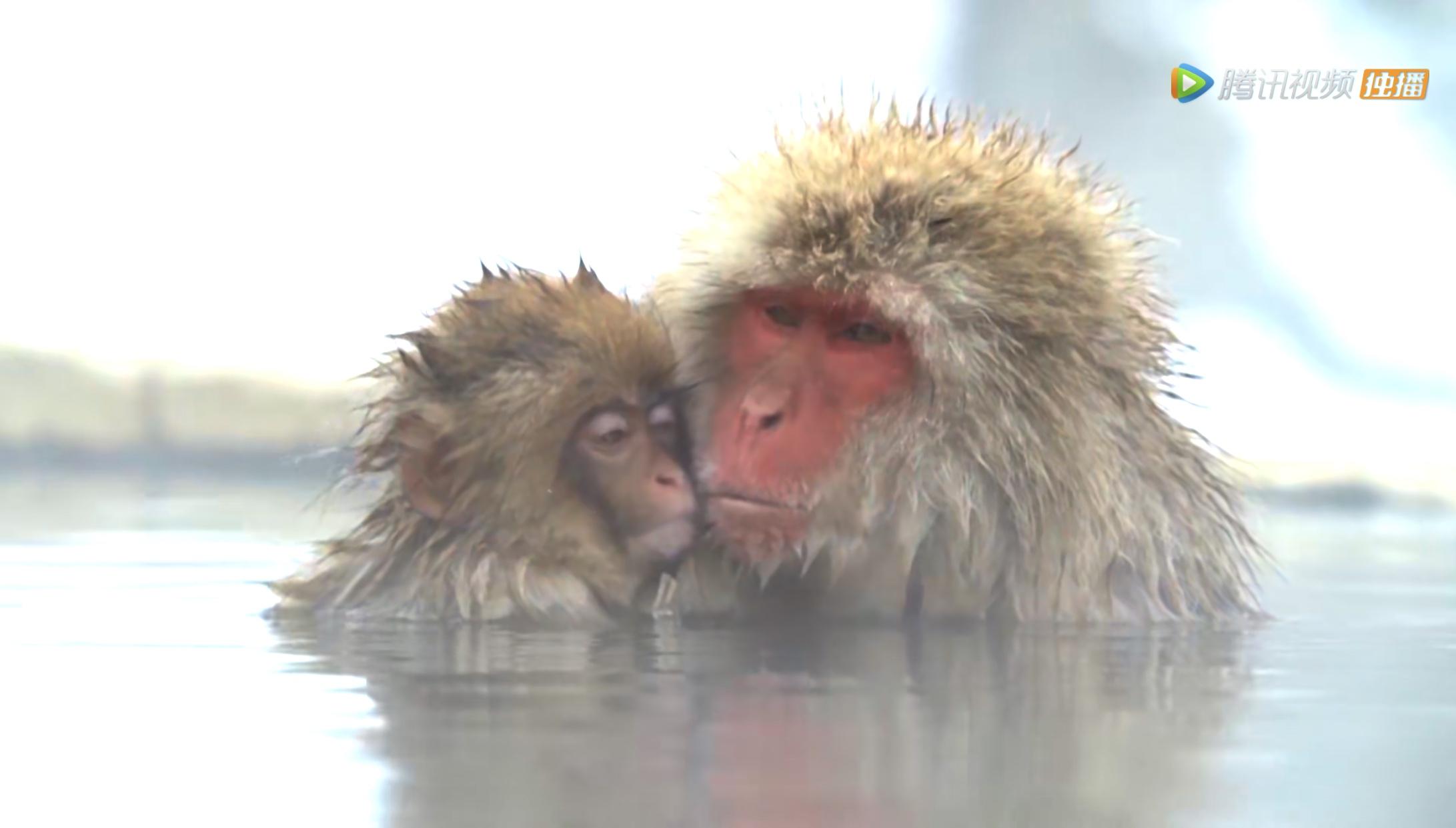 猕猴间谍拍到的猕猴母子