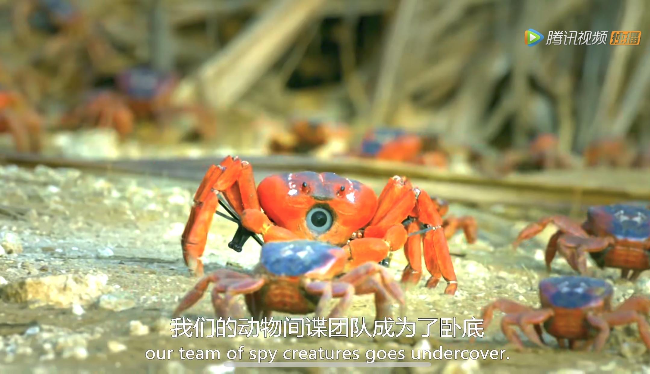 螃蟹特工差点被肢解