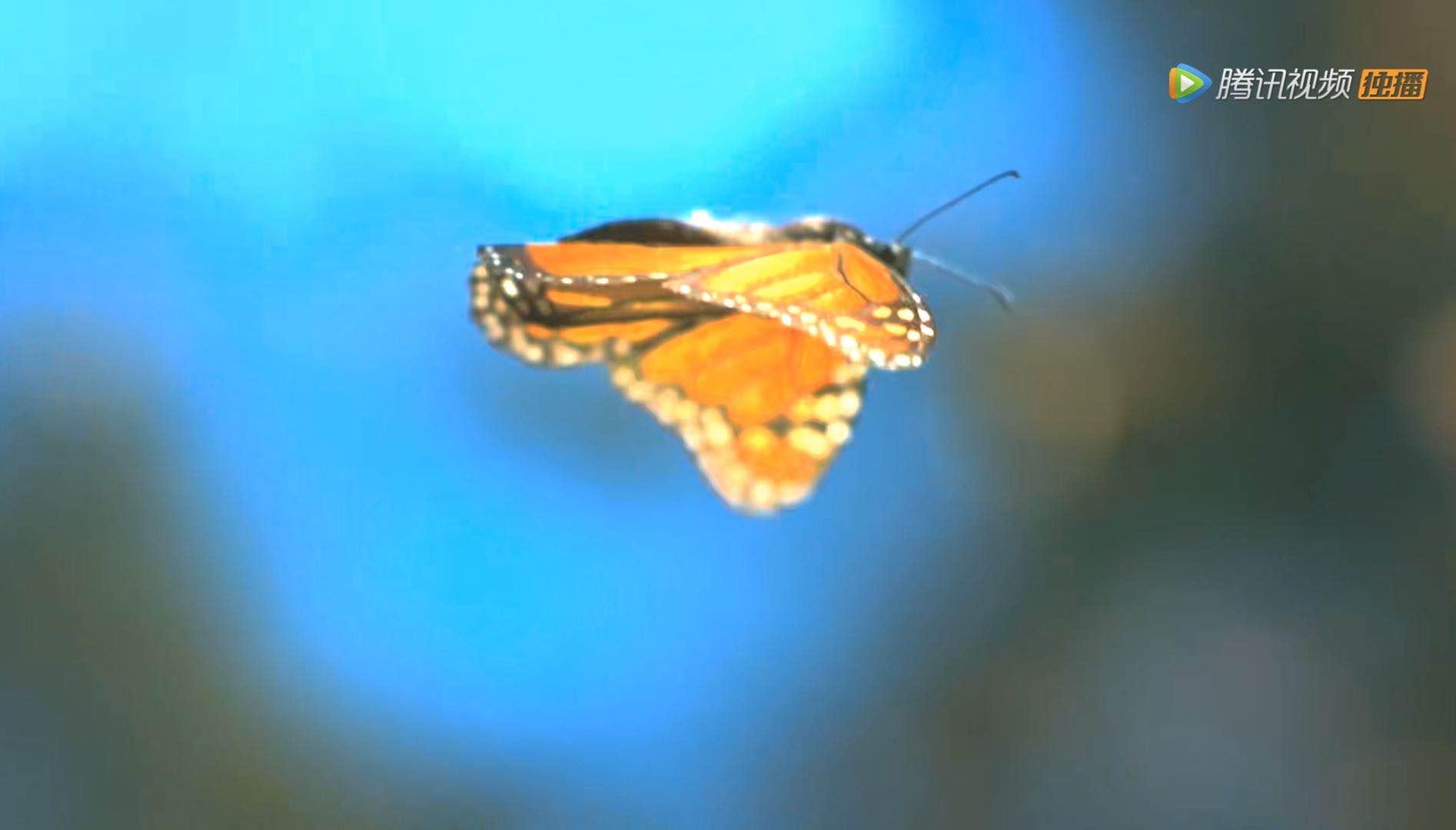 鸟特工的镜头下,捕捉到的蝴蝶