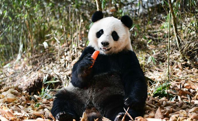 《大熊貓的春天》:關于胖達你知道多少?