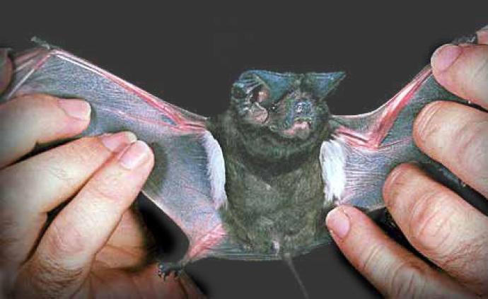 《自然》:預防下一場大流行,不能只盯著蝙蝠