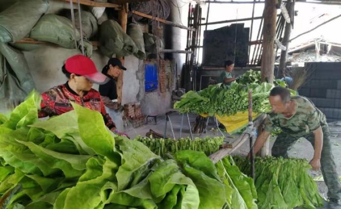 學者鄉村調研|榛子與烤煙改變了東北貧困村