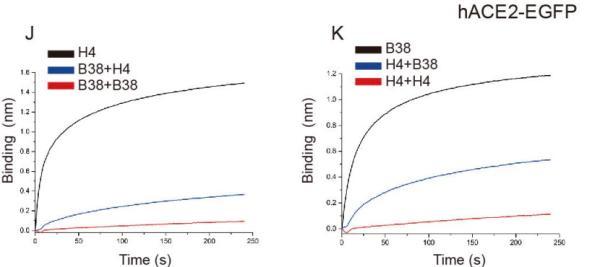 高福等学者鉴定2种可阻新冠入侵的抗体,为疫苗提供结构基础