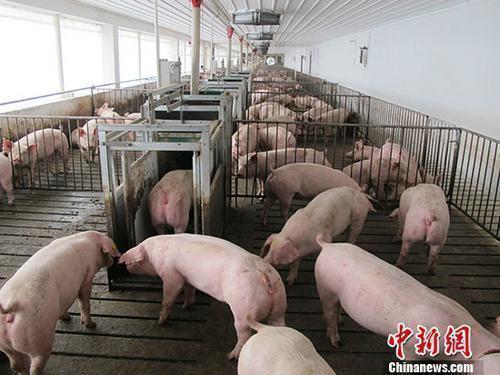 原料图:活猪养殖场。 中新社记者 林浩 摄
