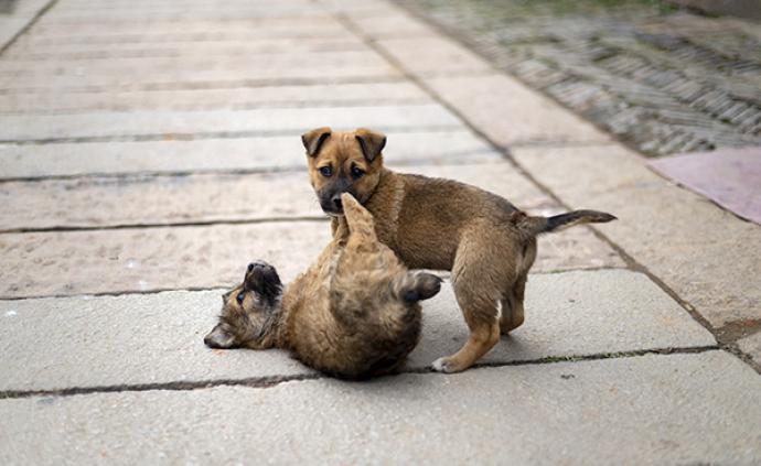 《合肥市养犬管理条例》颁布,中华田园犬已从禁养名录中删除