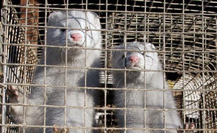 荷蘭將對全國水貂做新冠抗體測試,此前疑似又有水貂傳人疫情