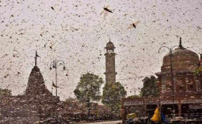 蝗虫群首现阿拉伯半岛东岸,粮农组织:全球70年来最大蝗灾