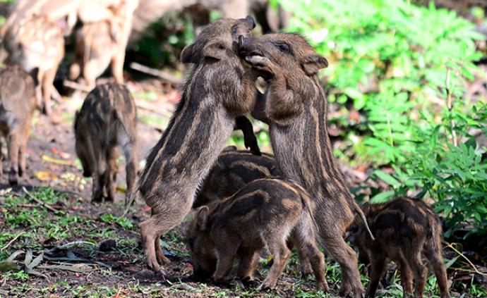 两部门:禁止从印度输入猪、野猪及其产品,严防非洲猪瘟传入