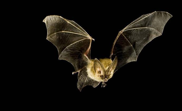 石正丽新论文聚焦中国地区蝙蝠冠状病毒:探讨起源与跨种传播