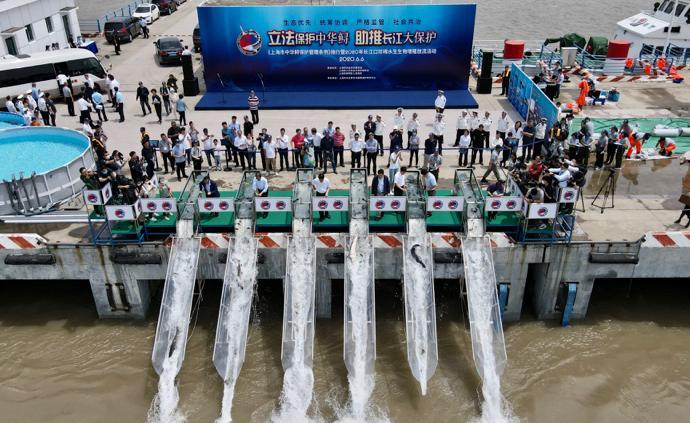 刚刚,24条中华鲟2000尾胭脂鱼从上海放流长江