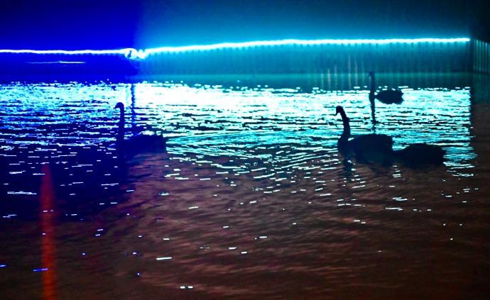 """老虎天鹅夜晚在干嘛?上海野生动物园""""奇妙夜""""7月1日启幕"""