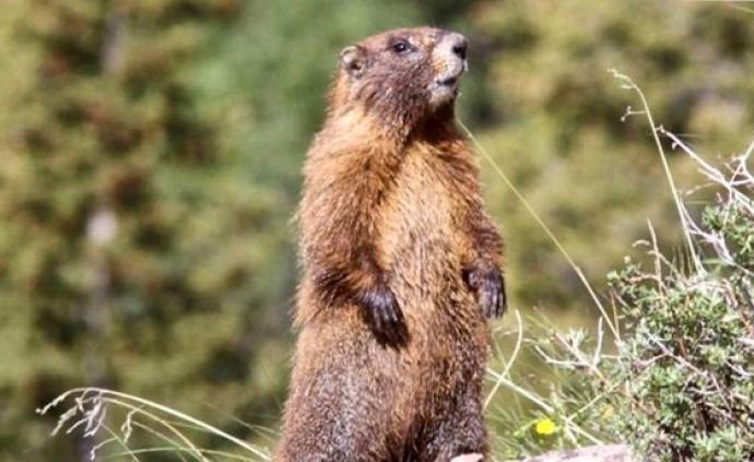 蒙古国发生1例疑似鼠疫死亡病例:死者生前曾猎食旱獭肉