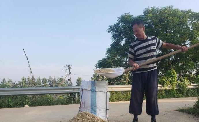 江西鄱陽縣內澇早稻搶收:稻子未熟透,估計減產兩成