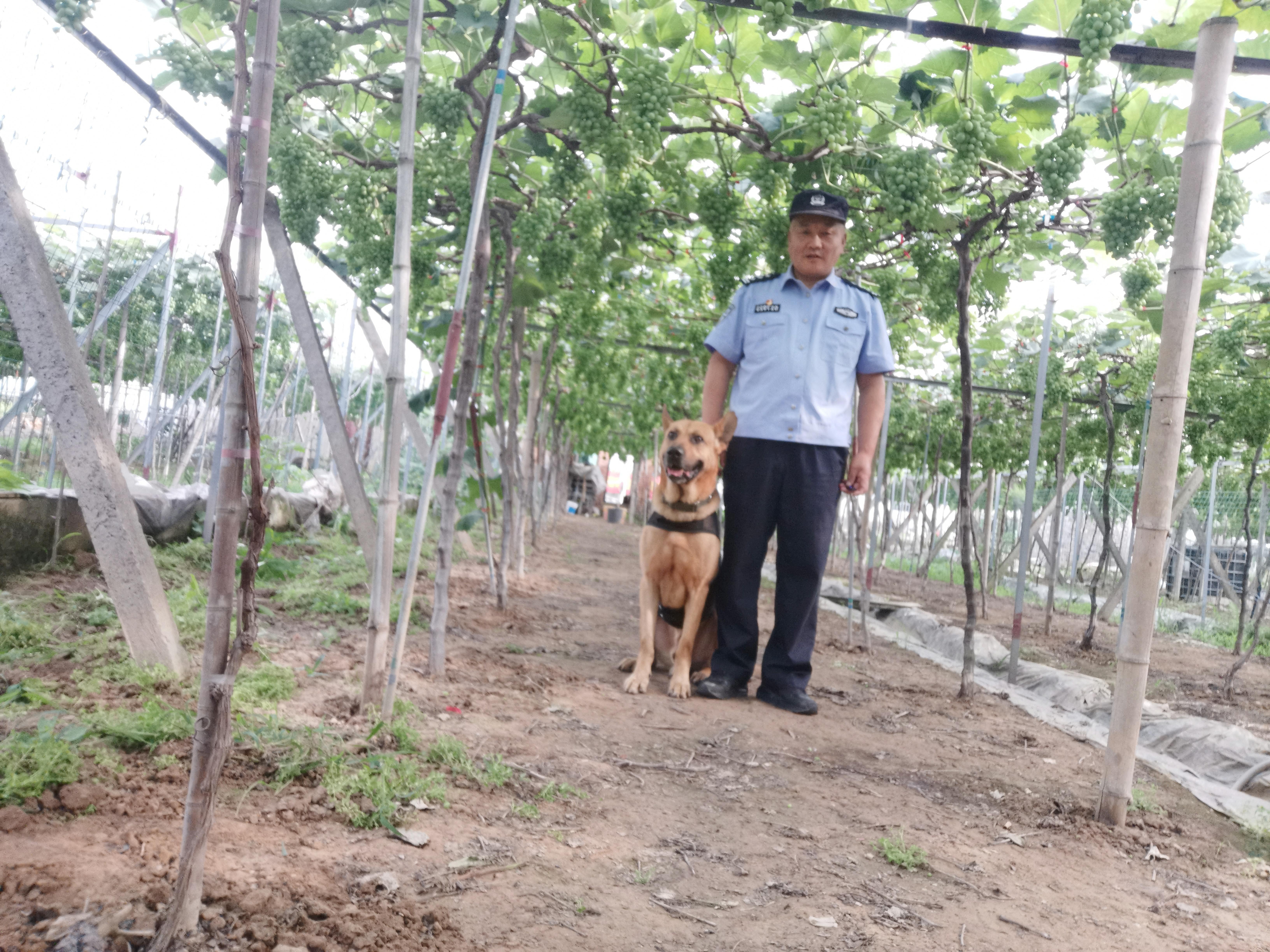 白雁和警犬在辖区陆家浦村巡逻