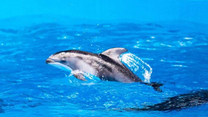 快来狂欢!华东首例自主繁育太平洋短吻海豚满月啦