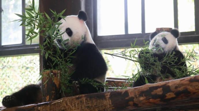 """大熊猫嘉嘉8周岁啦,她的儿子""""嘉嘉仔""""同时启动征名"""