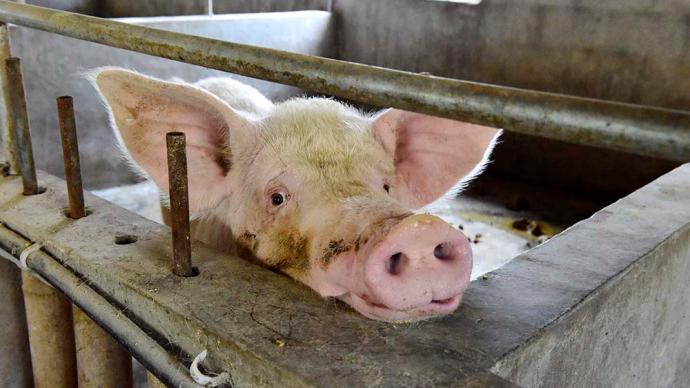 正邦科技7月生猪销售收入31亿元,同比增近2.5倍