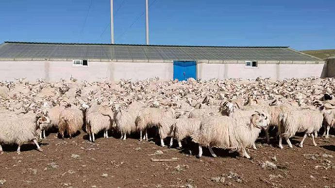 """黄河源头,上海援青资金助力""""玛多藏羊""""温暖过冬"""