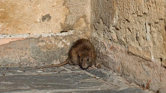 内蒙古1例鼠疫死亡病例如何被感染?专家:或因服用染疫食物