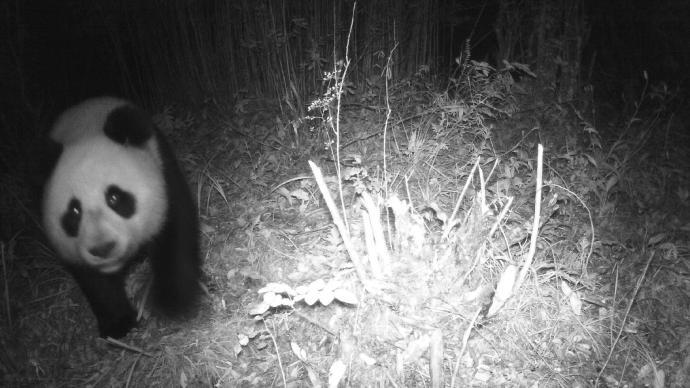 四川土地嶺大熊貓國家公園首次通過紅外相機拍到大熊貓身影
